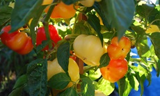 alma paprika öntözése