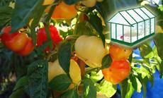 Almapaprika öntözése növényházban