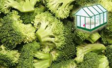 Brokkoli öntözése növényházban