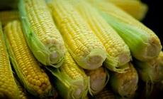 csemege kukorica öntözése