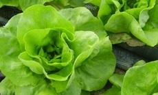fejes saláta szántóföldi esőztető öntözés