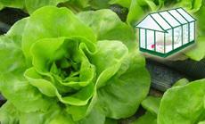 fejes saláta öntözése növényházban