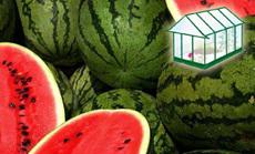 Görögdinnye öntözése növényházban