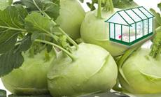 Karalábé öntözése növényházban