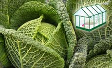 Kelkáposzta öntözése növényházban