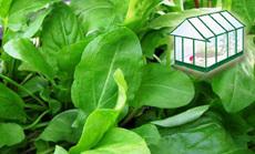 sóska öntözése növényházban