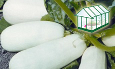 Spárgatök öntözése növényházban