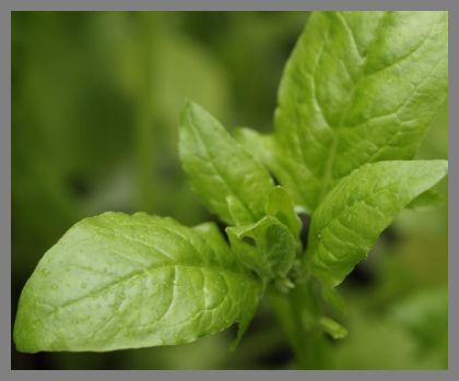 spenót szántóföldi esőztető öntözése, mezőgazdasági öntözés