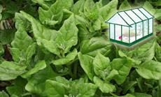 spenót öntözése növényházban