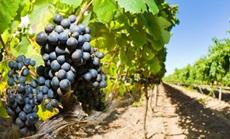szőlő öntözés