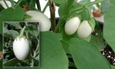 tojás gyümölcs, padlizsán öntözése
