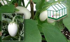 tojásgyümölcs öntözése növényházban