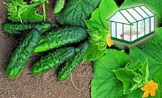 uborka öntözése növényházban