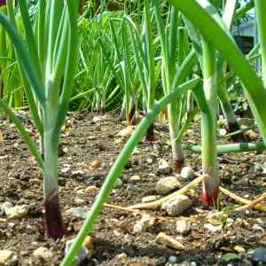 vöröshagyma szántóföldi esőztető öntözése, mezőgazdasági öntözés